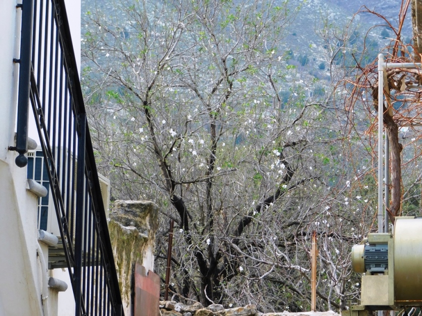 first almond blossom pedi