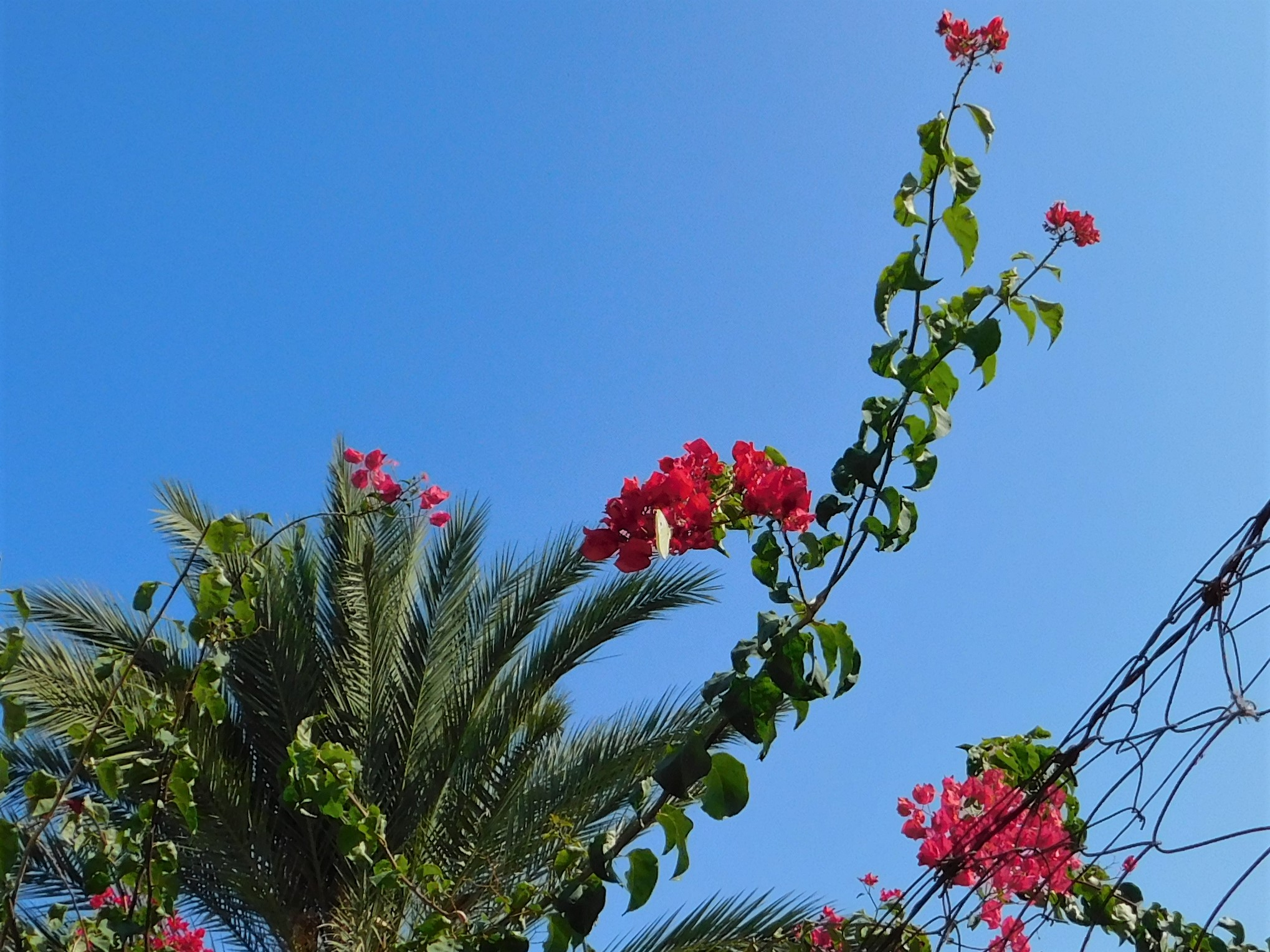 bougainvillea with butterfly 30 Oct 2019
