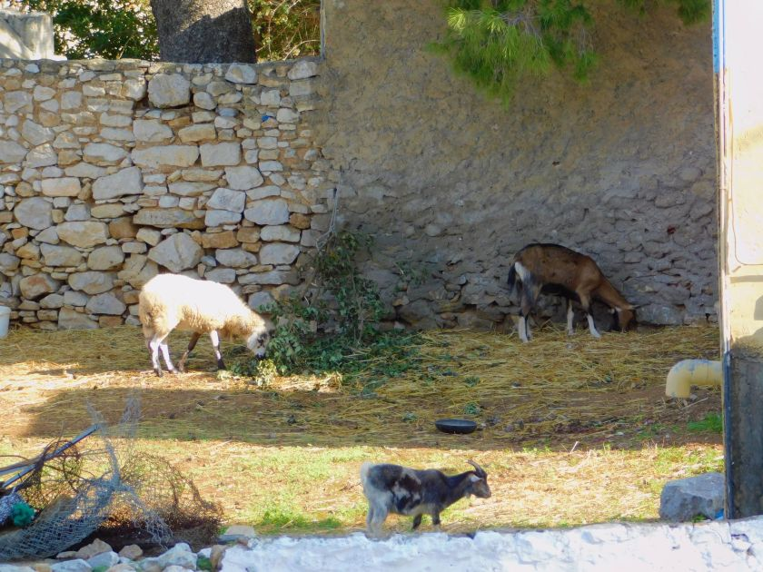 Goat snacks